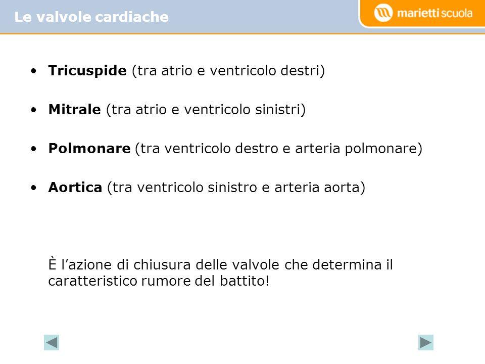 Le valvole cardiache Tricuspide (tra atrio e ventricolo destri) Mitrale (tra atrio e ventricolo sinistri)