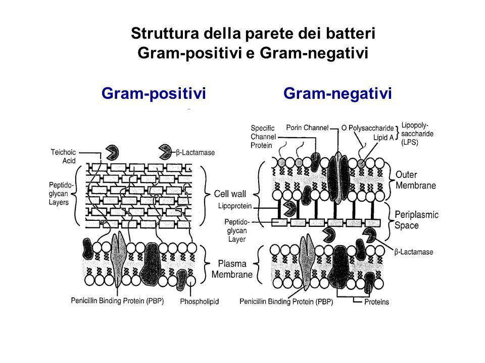 Struttura della parete dei batteri Gram-positivi e Gram-negativi