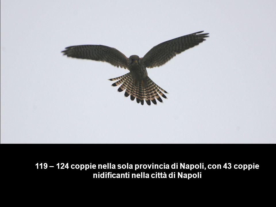119 – 124 coppie nella sola provincia di Napoli, con 43 coppie nidificanti nella città di Napoli