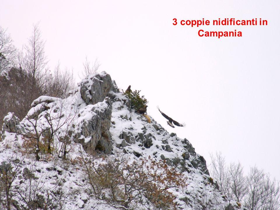 3 coppie nidificanti in Campania