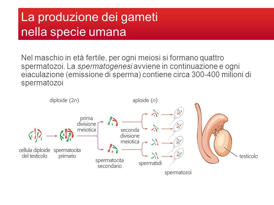 La produzione dei gameti nella specie umana