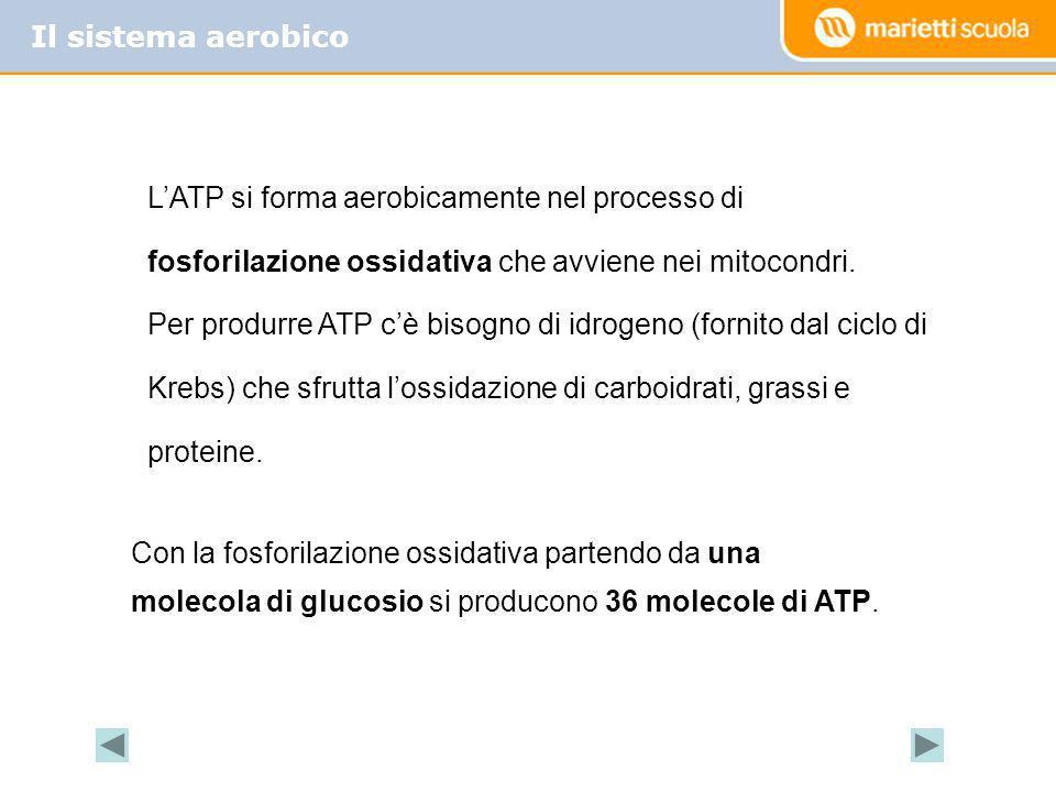 Il sistema aerobico L'ATP si forma aerobicamente nel processo di fosforilazione ossidativa che avviene nei mitocondri.