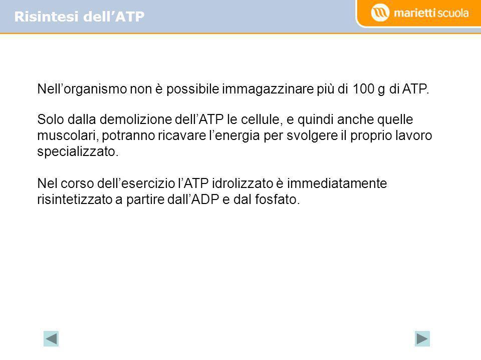 Risintesi dell'ATP Nell'organismo non è possibile immagazzinare più di 100 g di ATP.