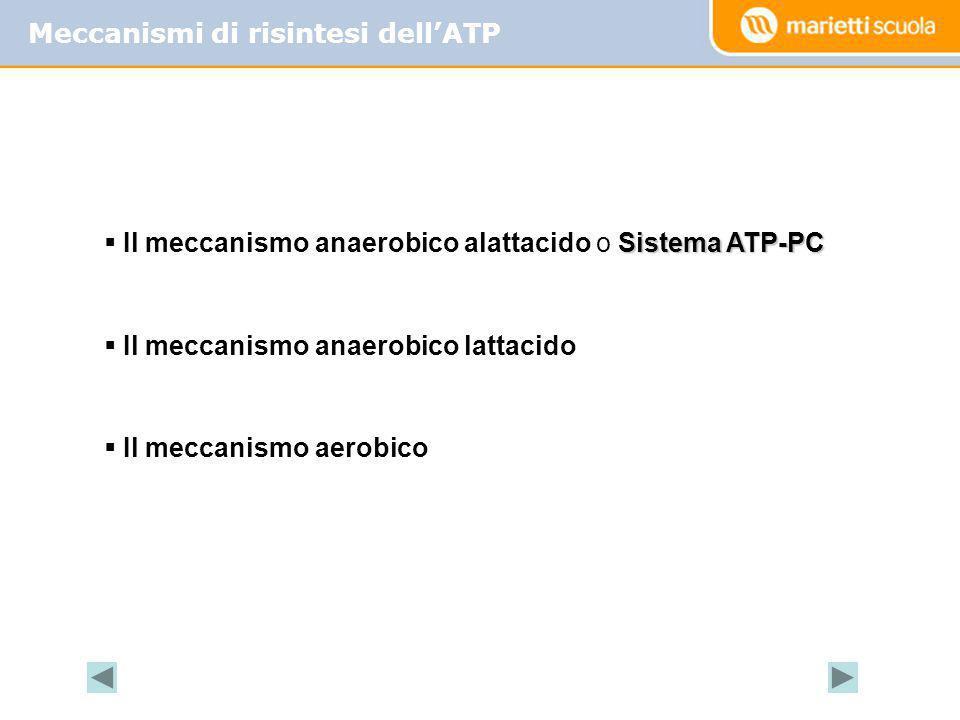 Meccanismi di risintesi dell'ATP