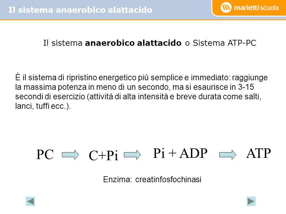 Il sistema anaerobico alattacido o Sistema ATP-PC