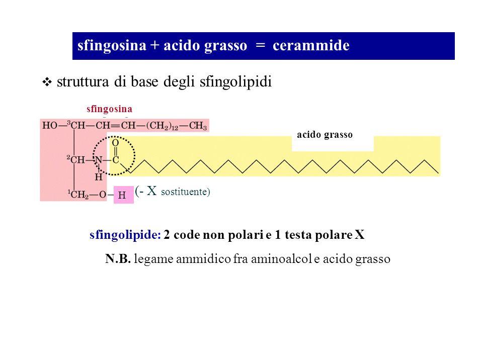sfingosina + acido grasso = cerammide