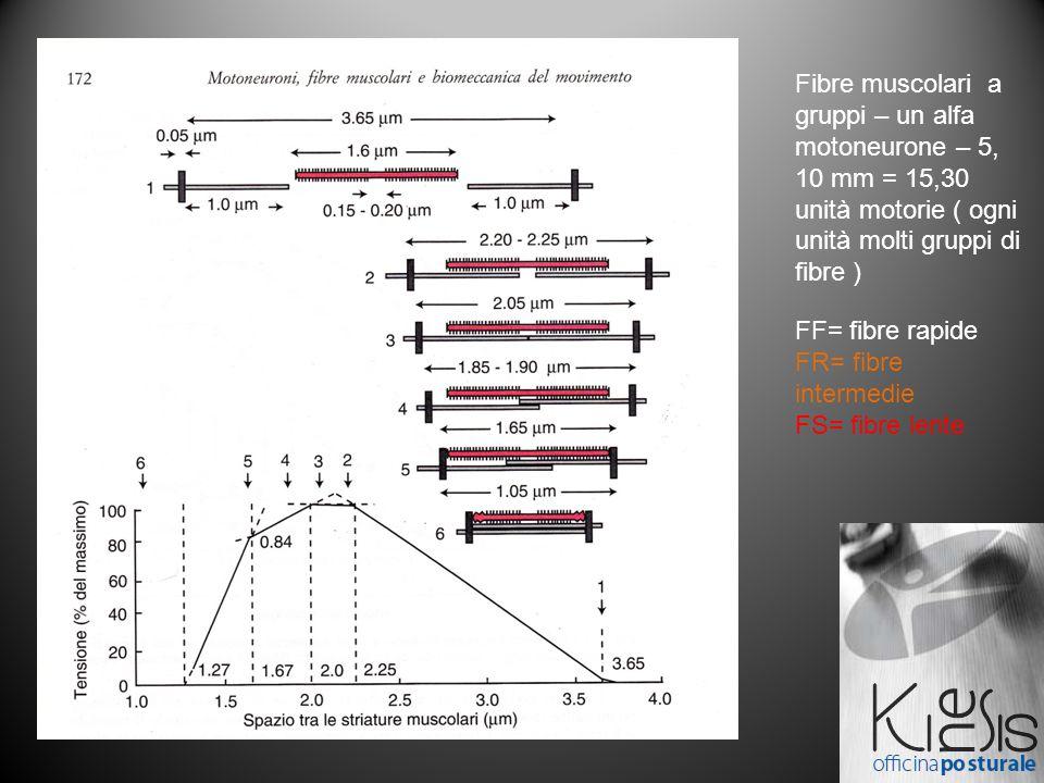 Fibre muscolari a gruppi – un alfa motoneurone – 5, 10 mm = 15,30 unità motorie ( ogni unità molti gruppi di fibre )