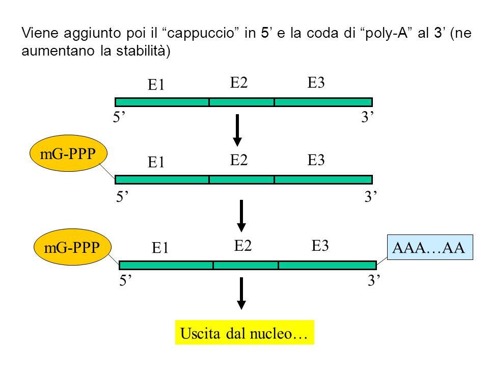 E1 E2 E3 5' 3' mG-PPP E1 E2 E3 5' 3' mG-PPP E1 E2 E3 AAA…AA 5' 3'