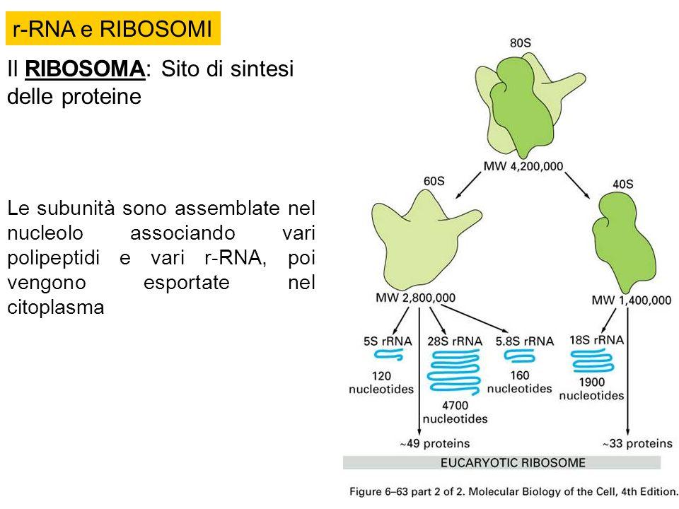 Il RIBOSOMA: Sito di sintesi delle proteine