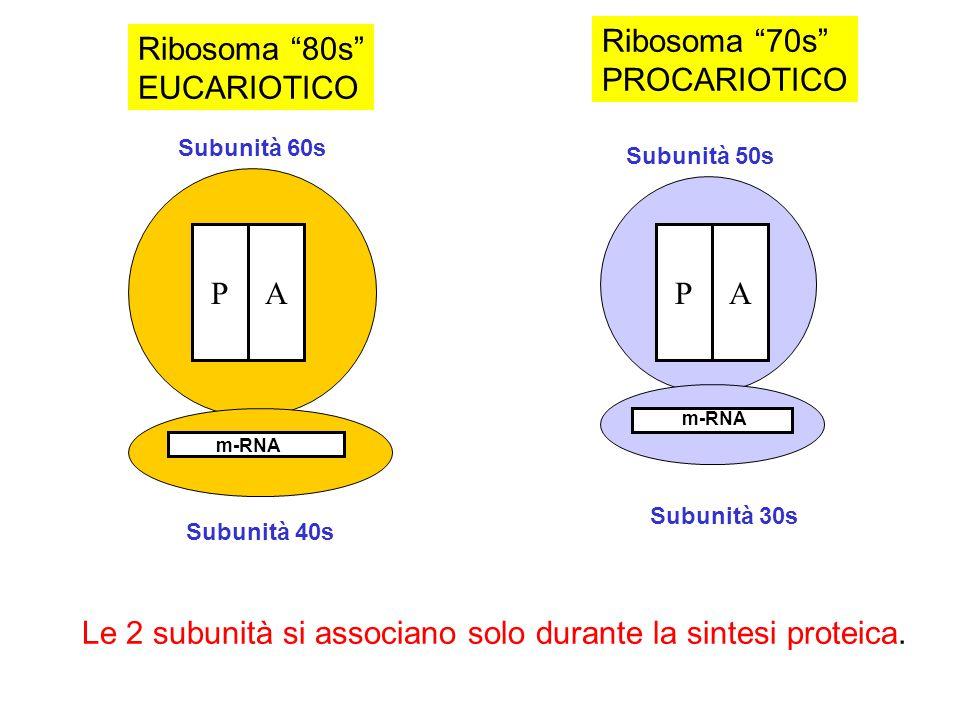 Le 2 subunità si associano solo durante la sintesi proteica. P A