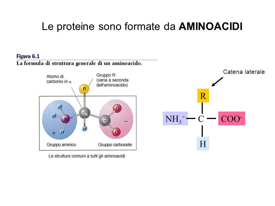 Le proteine sono formate da AMINOACIDI
