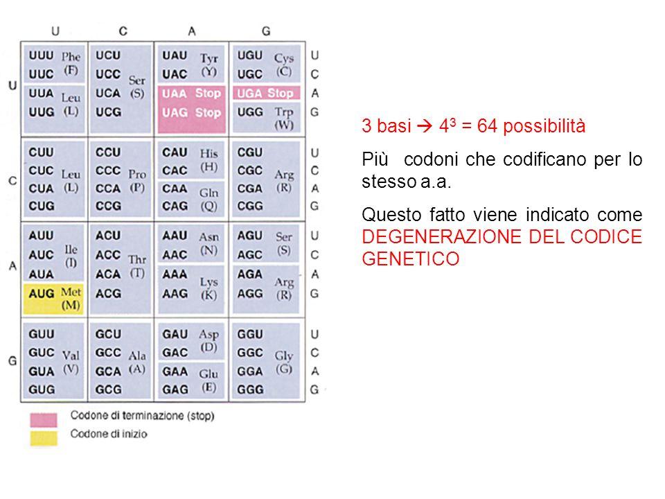 3 basi  43 = 64 possibilità Più codoni che codificano per lo stesso a.a.