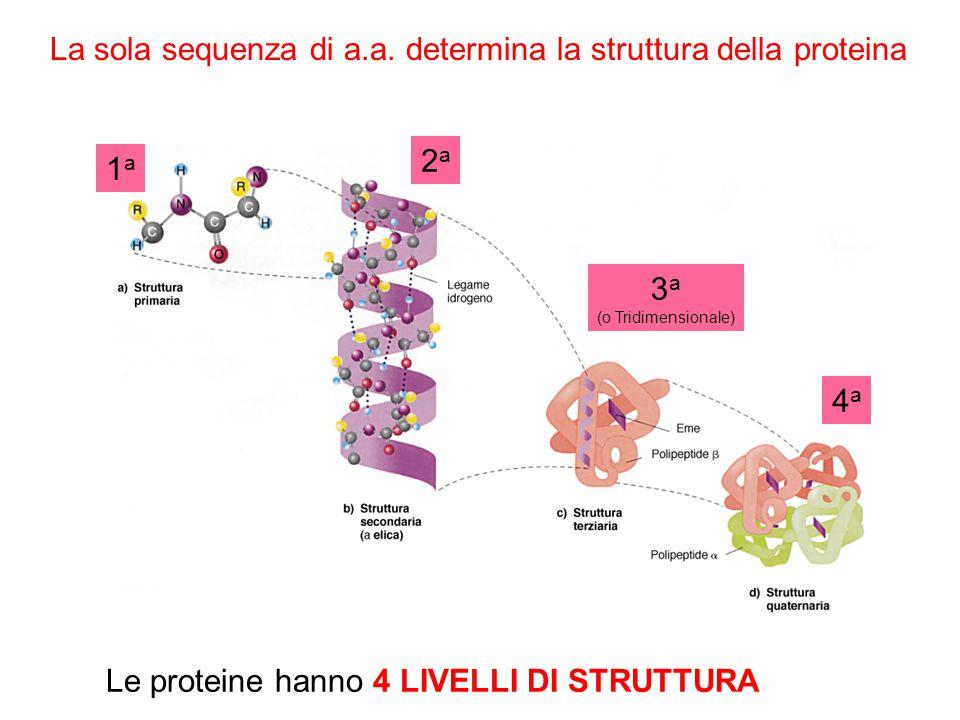 La sola sequenza di a.a. determina la struttura della proteina