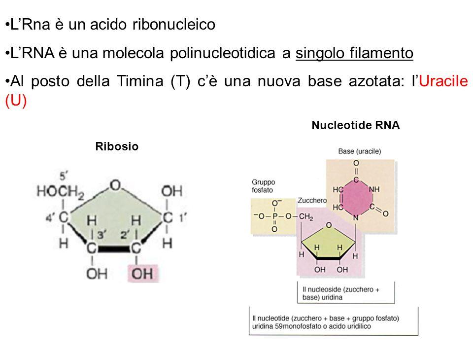 L'Rna è un acido ribonucleico