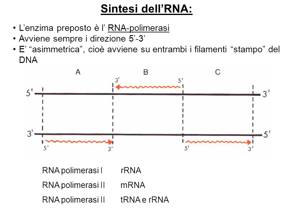 Sintesi dell'RNA: L'enzima preposto è l' RNA-polimerasi