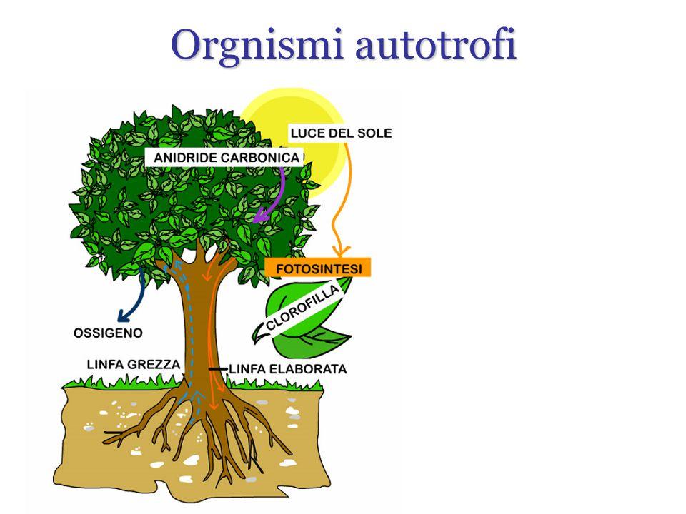 Orgnismi autotrofi