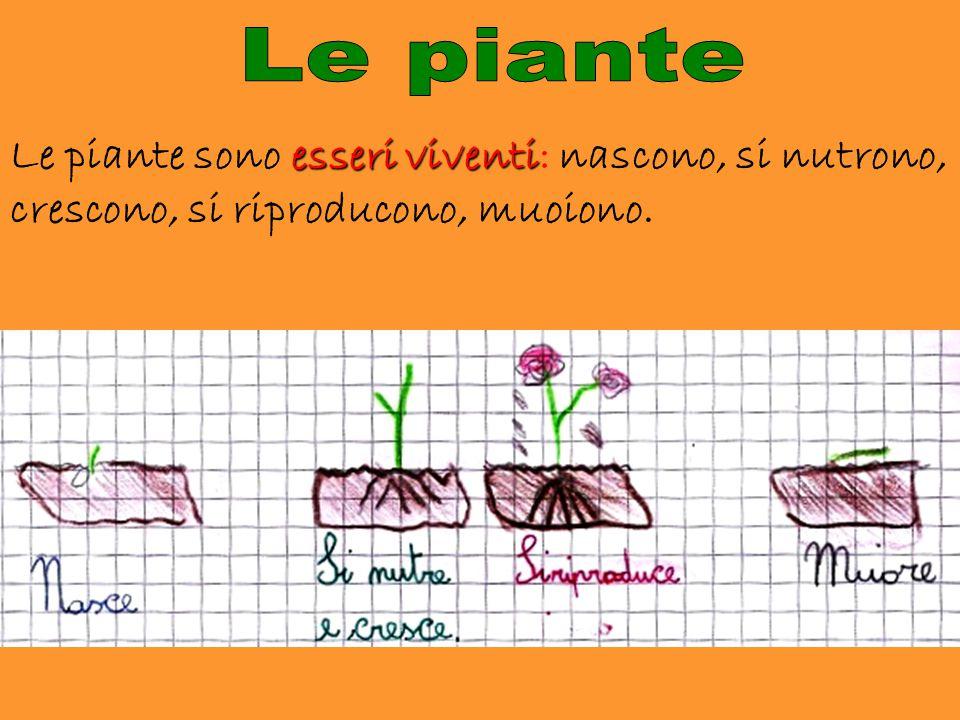 Le piante Le piante sono esseri viventi: nascono, si nutrono, crescono, si riproducono, muoiono.