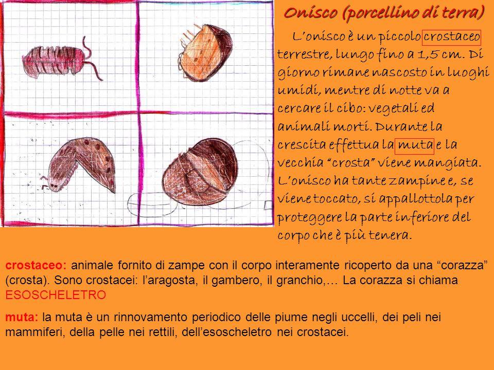 Onisco (porcellino di terra)