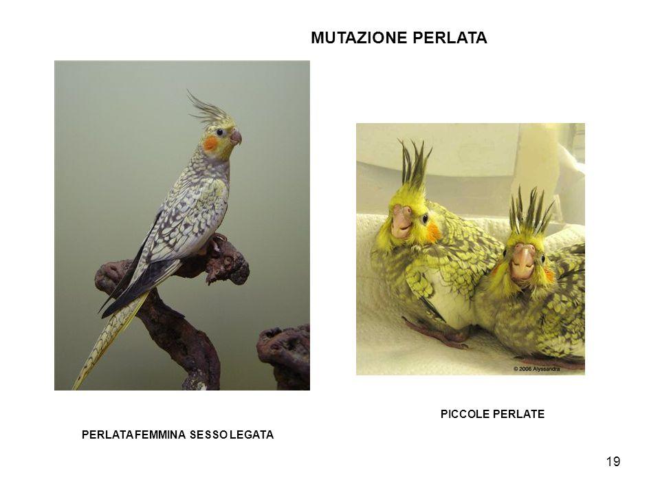 MUTAZIONE PERLATA PICCOLE PERLATE PERLATA FEMMINA SESSO LEGATA