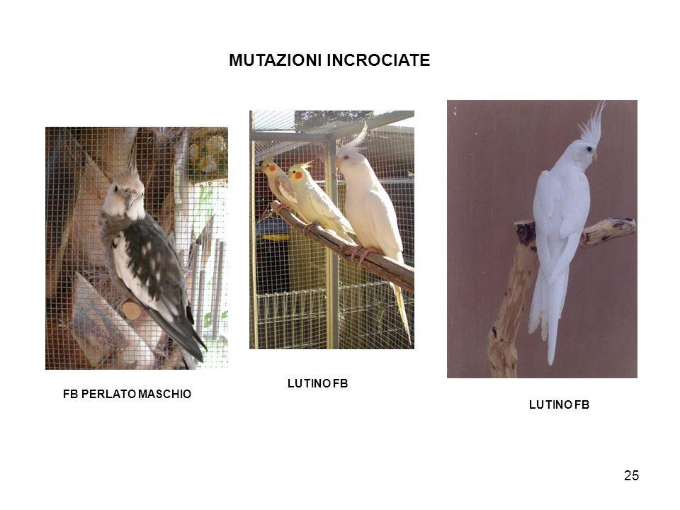 MUTAZIONI INCROCIATE LUTINO FB FB PERLATO MASCHIO LUTINO FB