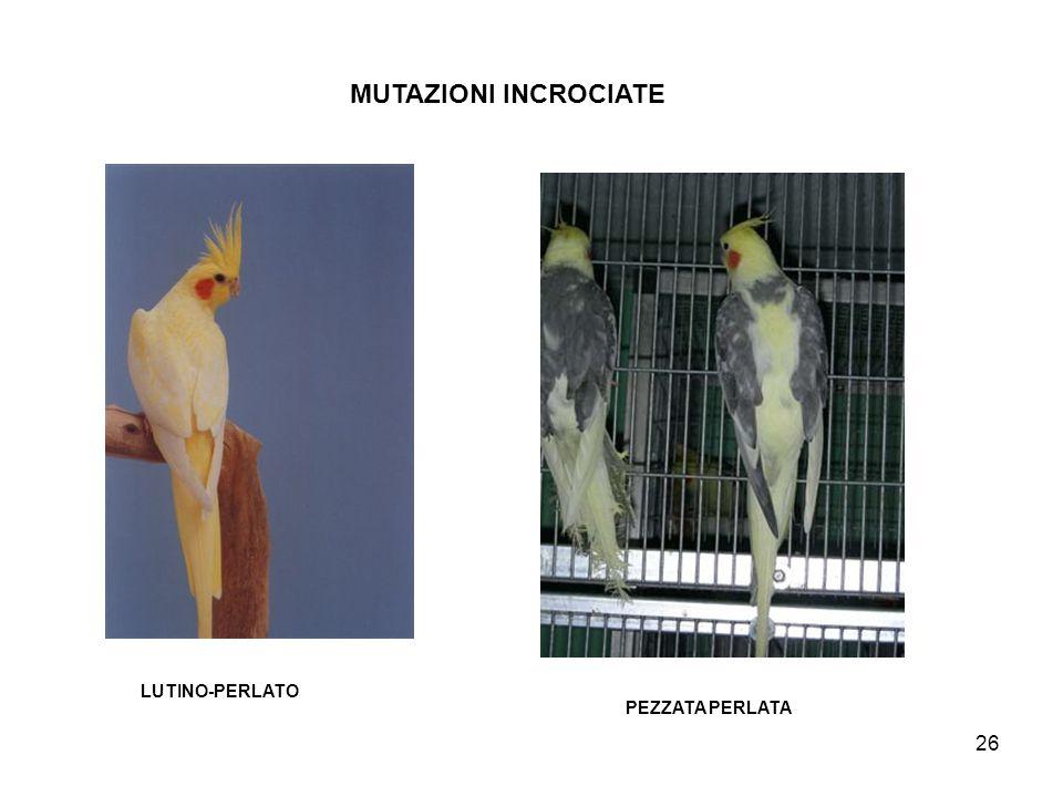 MUTAZIONI INCROCIATE LUTINO-PERLATO PEZZATA PERLATA