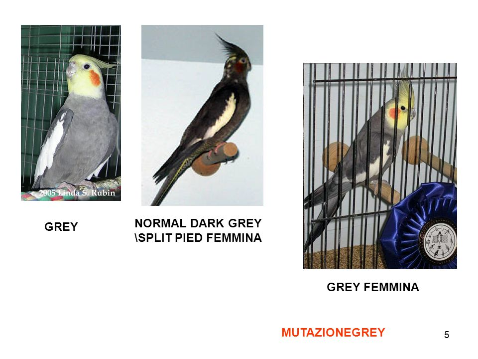NORMAL DARK GREY \SPLIT PIED FEMMINA GREY GREY FEMMINA MUTAZIONEGREY