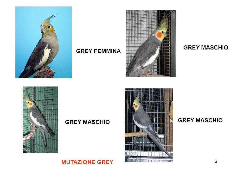 GREY MASCHIO GREY FEMMINA GREY MASCHIO GREY MASCHIO MUTAZIONE GREY