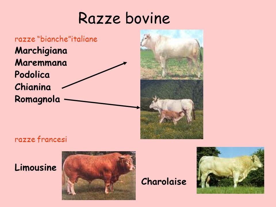 Razze bovine Charolaise Marchigiana Maremmana Podolica Chianina