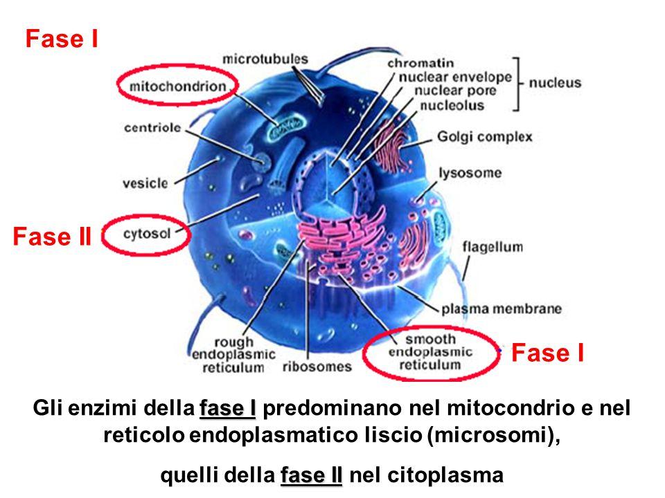 quelli della fase II nel citoplasma