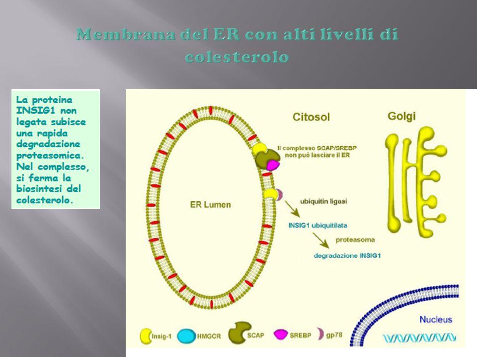 Membrana del ER con alti livelli di colesterolo
