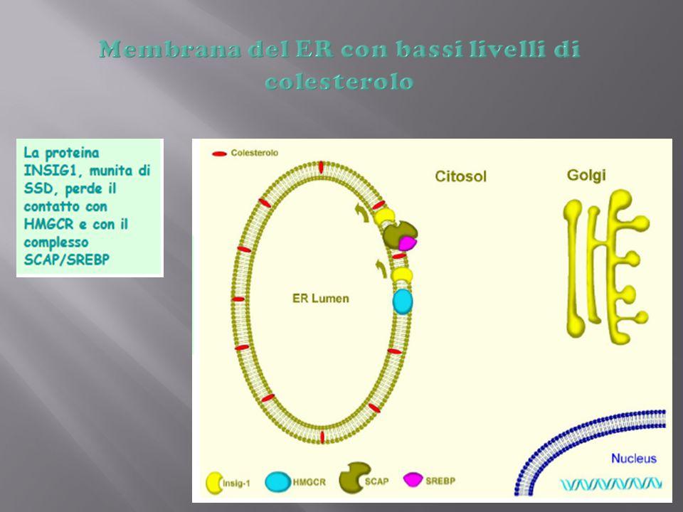 Membrana del ER con bassi livelli di colesterolo