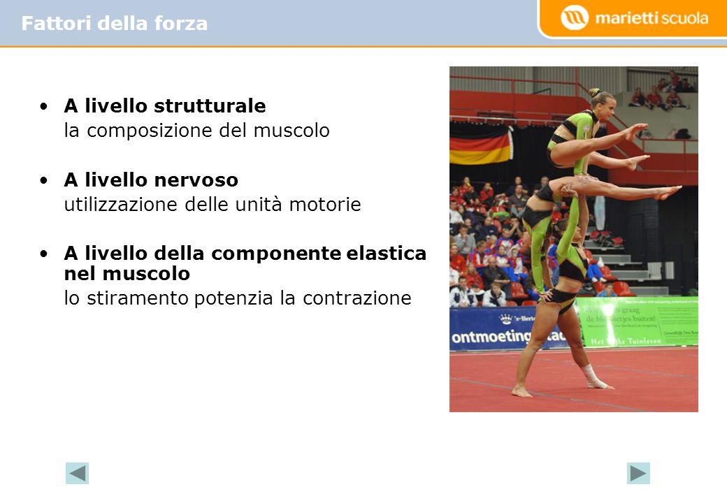 Fattori della forza A livello strutturale. la composizione del muscolo. A livello nervoso. utilizzazione delle unità motorie.