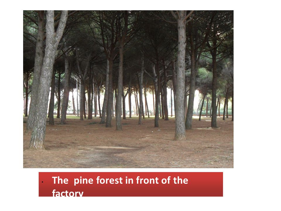 The pine forest in front of the factory