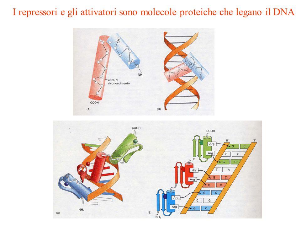 I repressori e gli attivatori sono molecole proteiche che legano il DNA