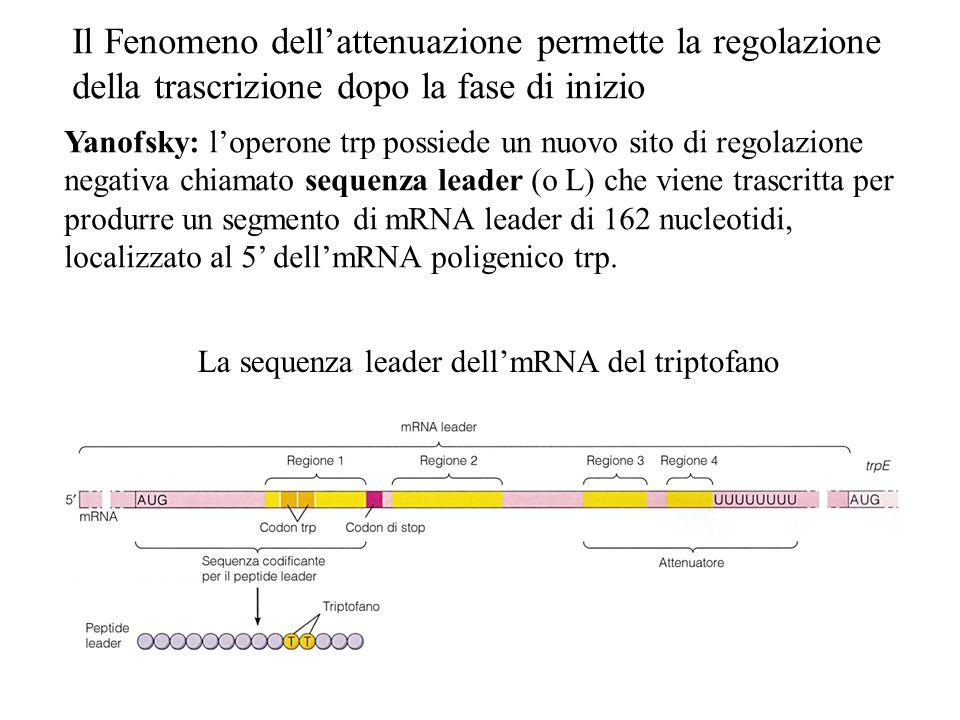 Il Fenomeno dell'attenuazione permette la regolazione della trascrizione dopo la fase di inizio