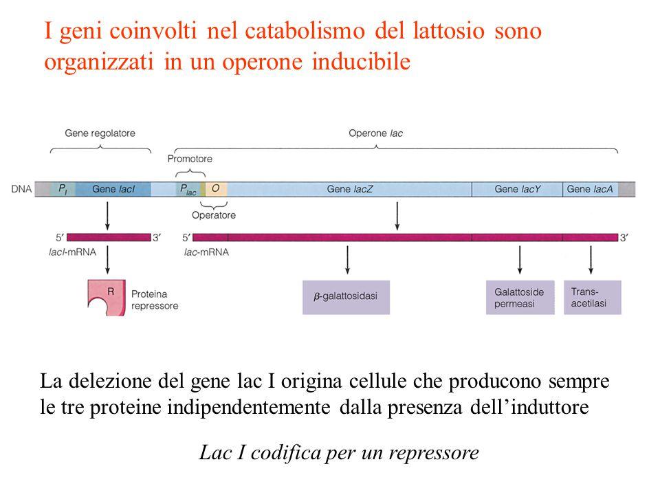 I geni coinvolti nel catabolismo del lattosio sono organizzati in un operone inducibile