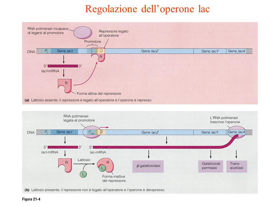 Regolazione dell'operone lac