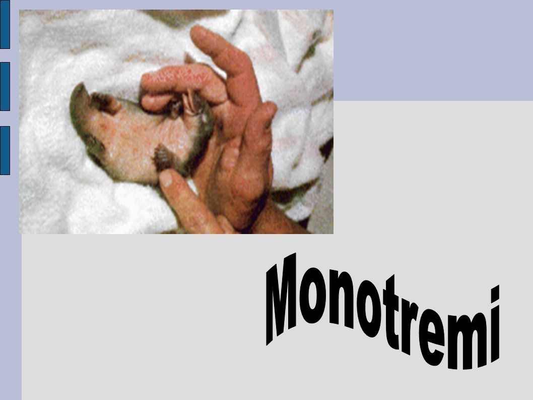 Monotremi