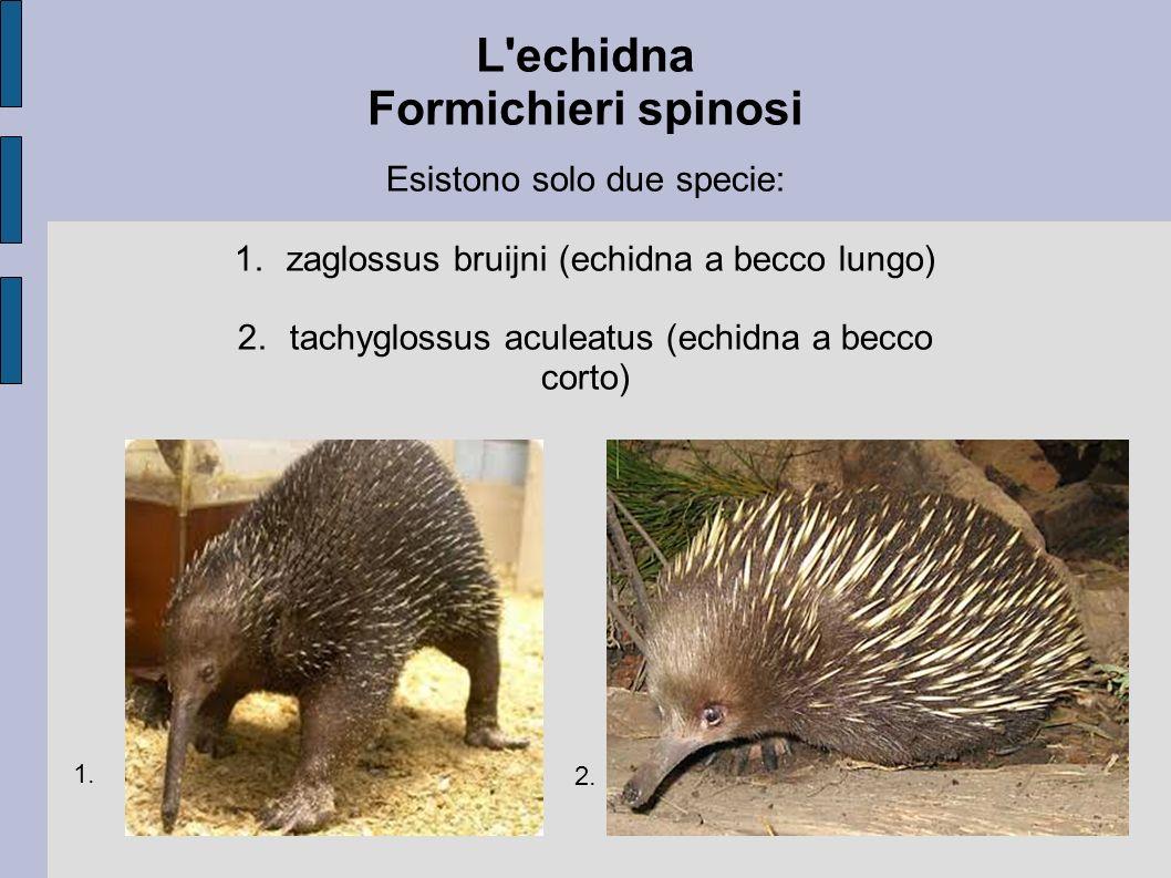 L echidna Formichieri spinosi
