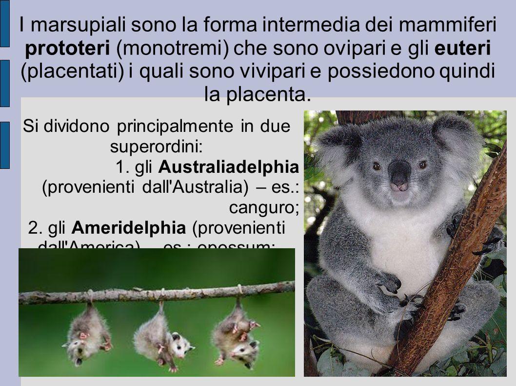 I marsupiali sono la forma intermedia dei mammiferi prototeri (monotremi) che sono ovipari e gli euteri (placentati) i quali sono vivipari e possiedono quindi la placenta.