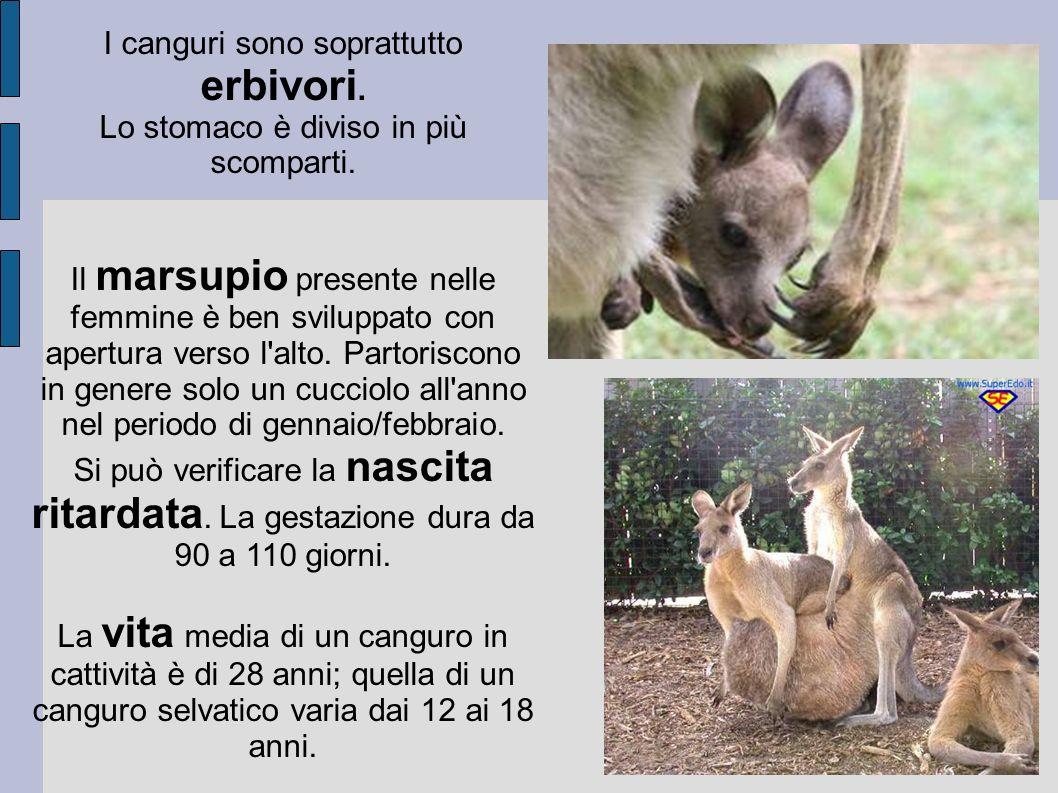 I canguri sono soprattutto erbivori.