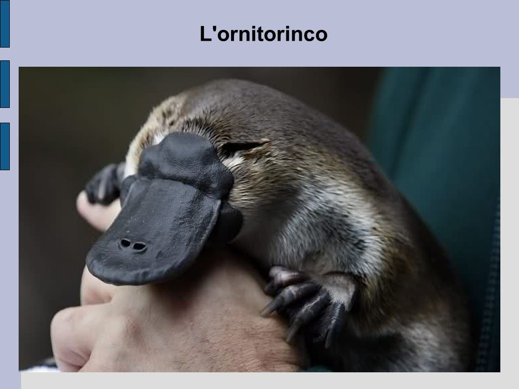 L ornitorinco