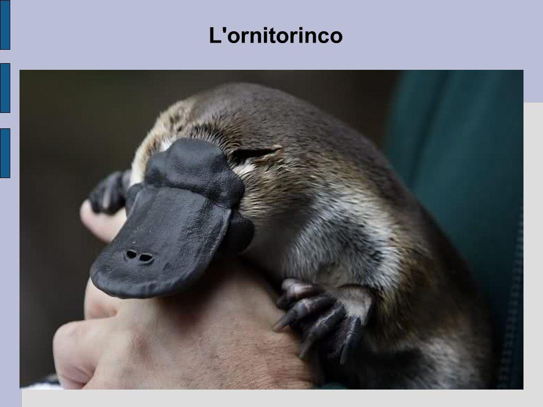 L ornitorinco