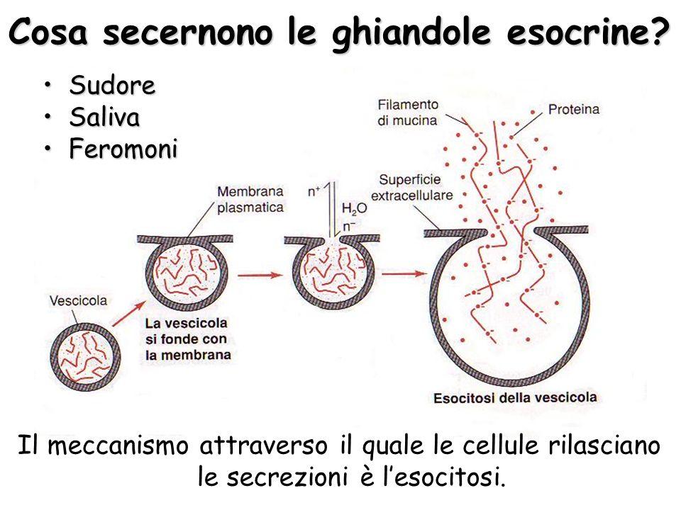 Cosa secernono le ghiandole esocrine