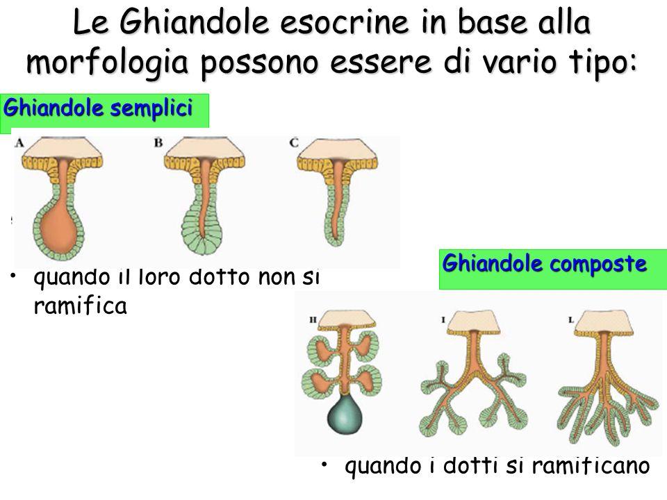 Le Ghiandole esocrine in base alla morfologia possono essere di vario tipo: