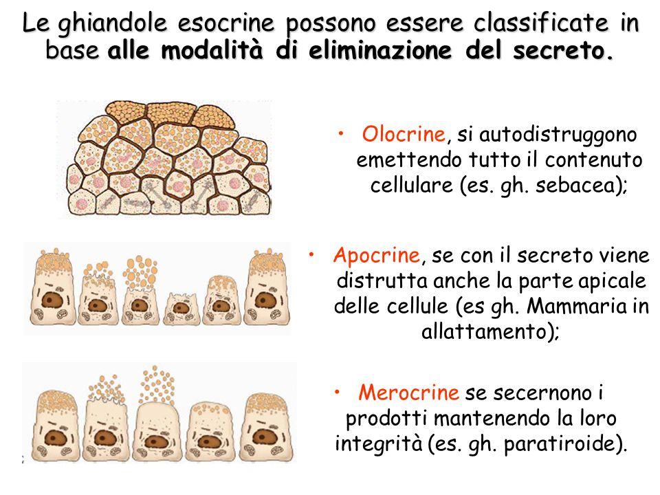 Le ghiandole esocrine possono essere classificate in base alle modalità di eliminazione del secreto.