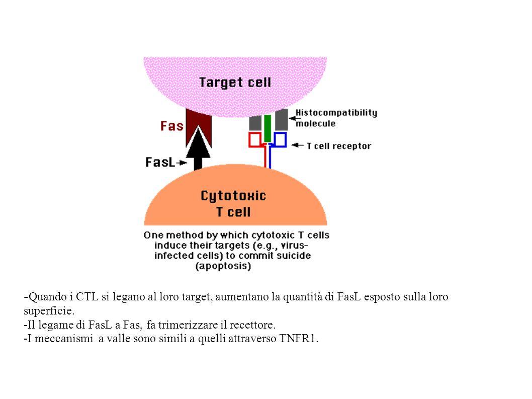 -Quando i CTL si legano al loro target, aumentano la quantità di FasL esposto sulla loro superficie.