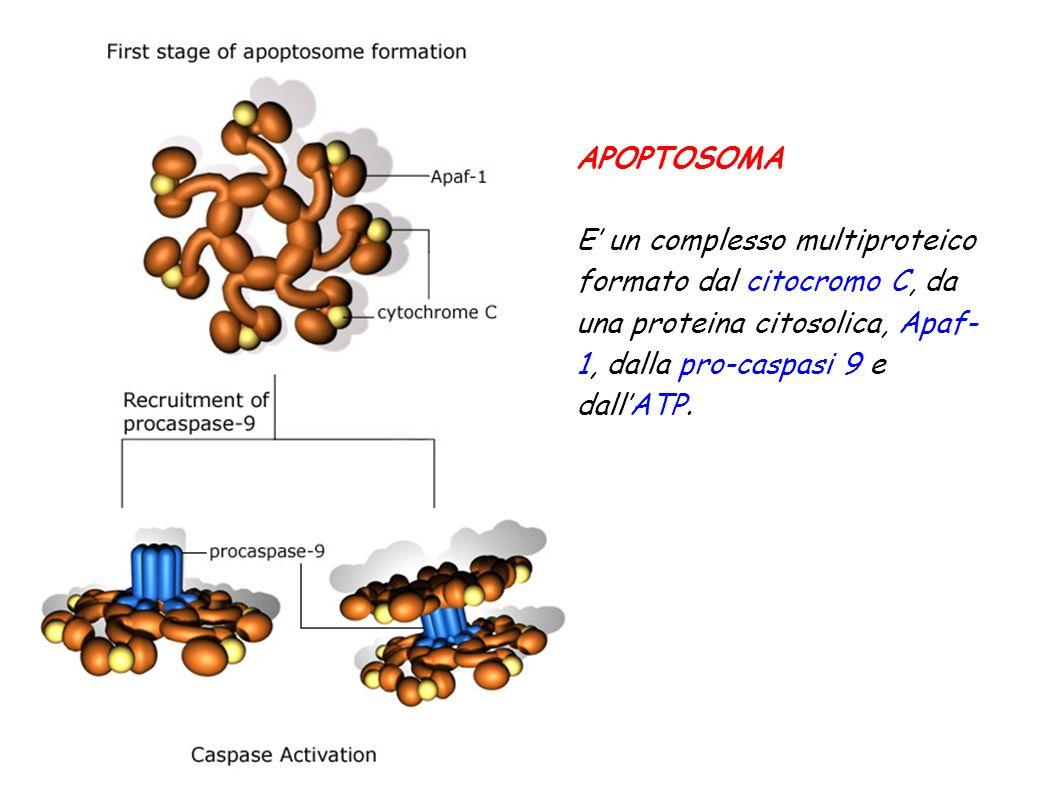 APOPTOSOMA E' un complesso multiproteico formato dal citocromo C, da una proteina citosolica, Apaf-1, dalla pro-caspasi 9 e dall'ATP.