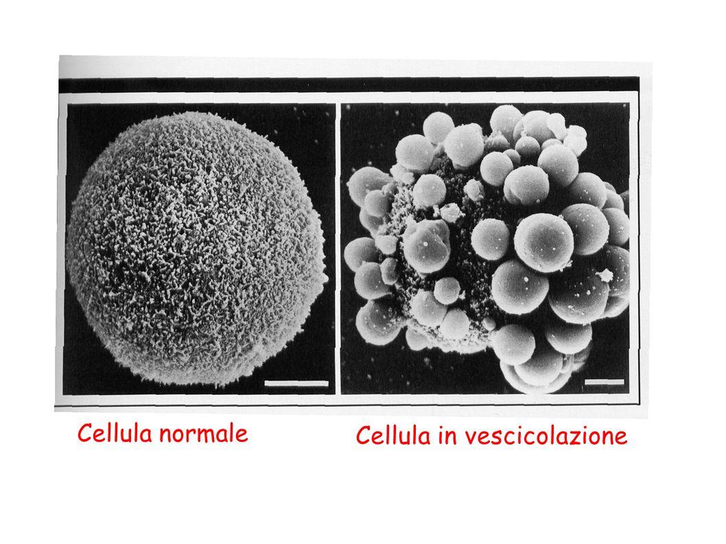 Cellula normale Cellula in vescicolazione