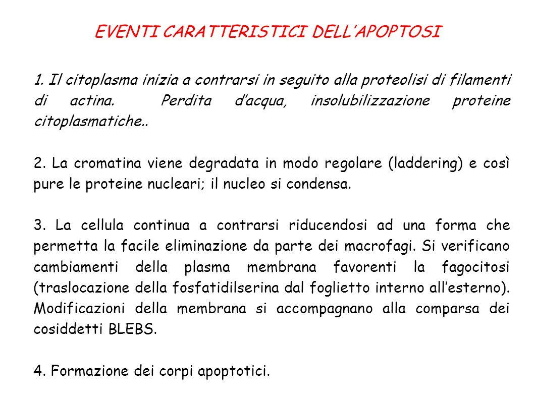 EVENTI CARATTERISTICI DELL'APOPTOSI